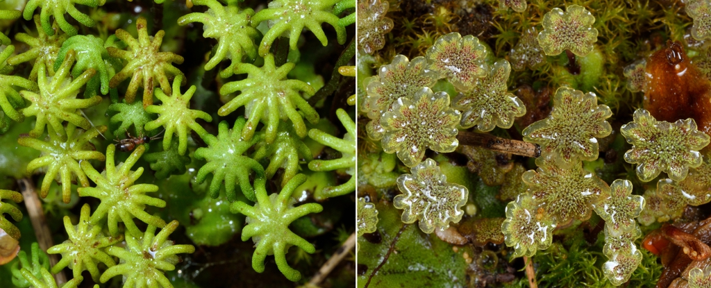 Marchantia polymorpha gametophytes (female on left and male on r