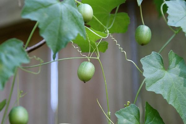 Melothria pendula, fruit