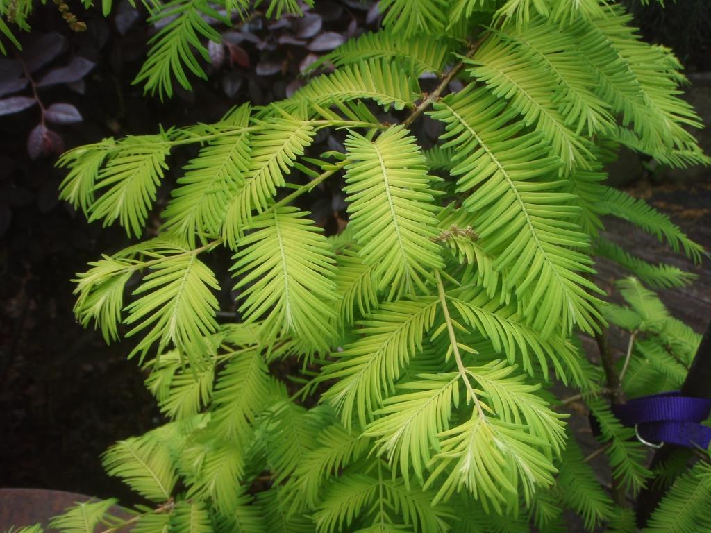 'Ogon' Leaf