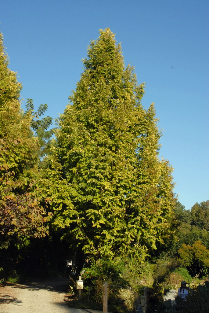 'Ogon' Tree