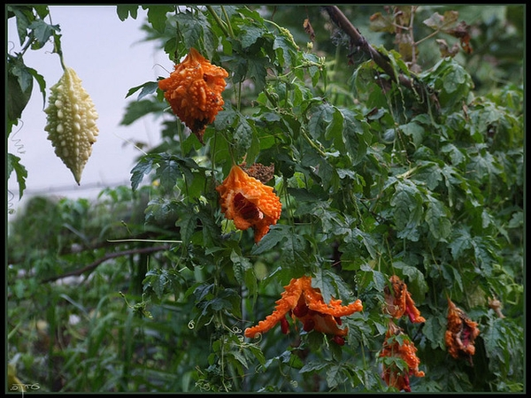 Momordica charantia, fruit