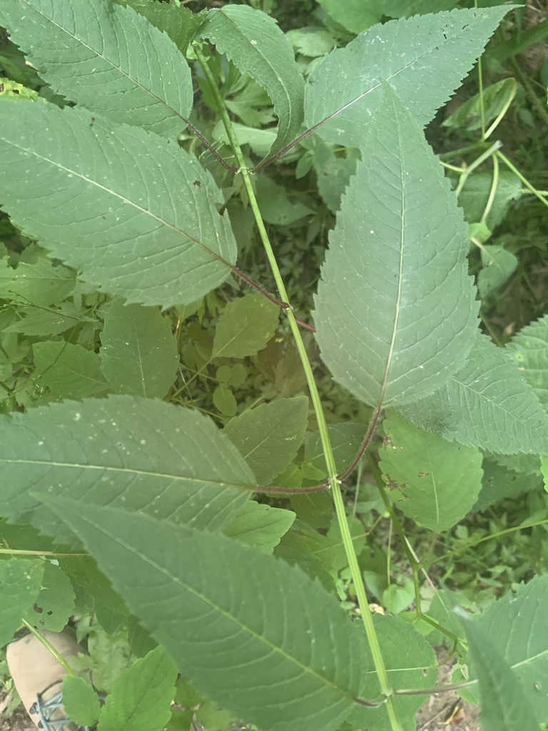 Leaves and stem
