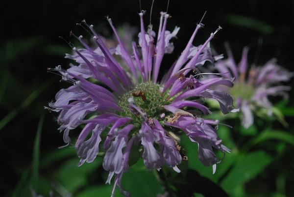 Monarda fistulosa, Wild Bergamont