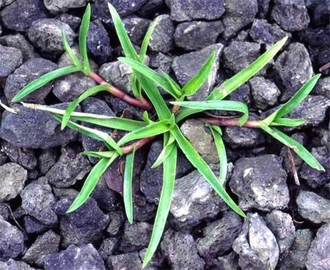 Murdanniua nudiflora