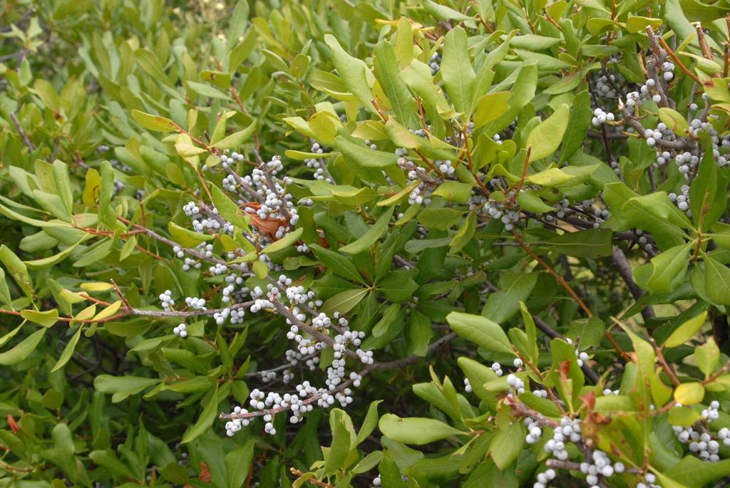 Myrica pensylvanica Leaf and Fruit