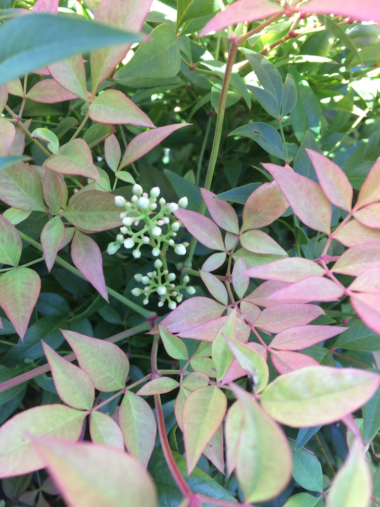 flower and leaves, late spring, Durham County, NC