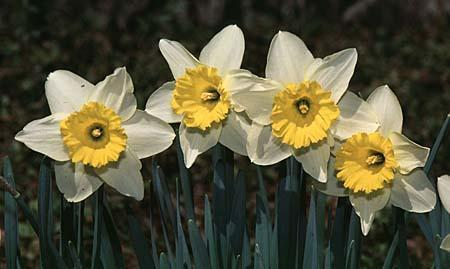 Narcissus spp.