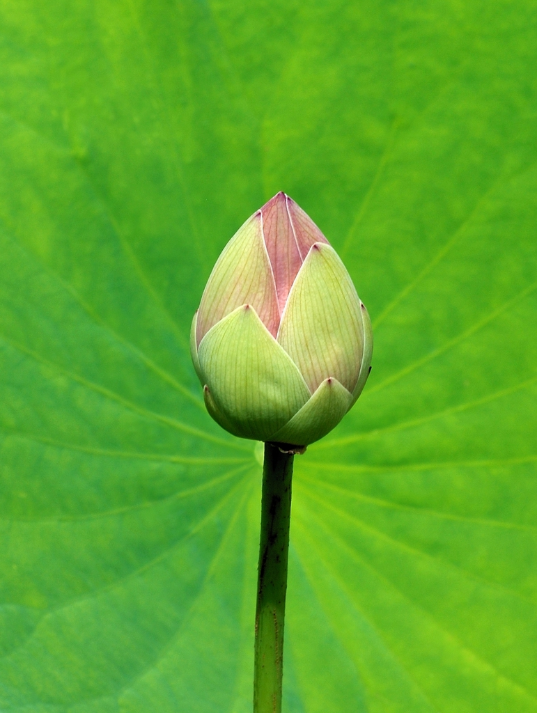 Nelumbo nucifera bud in summer