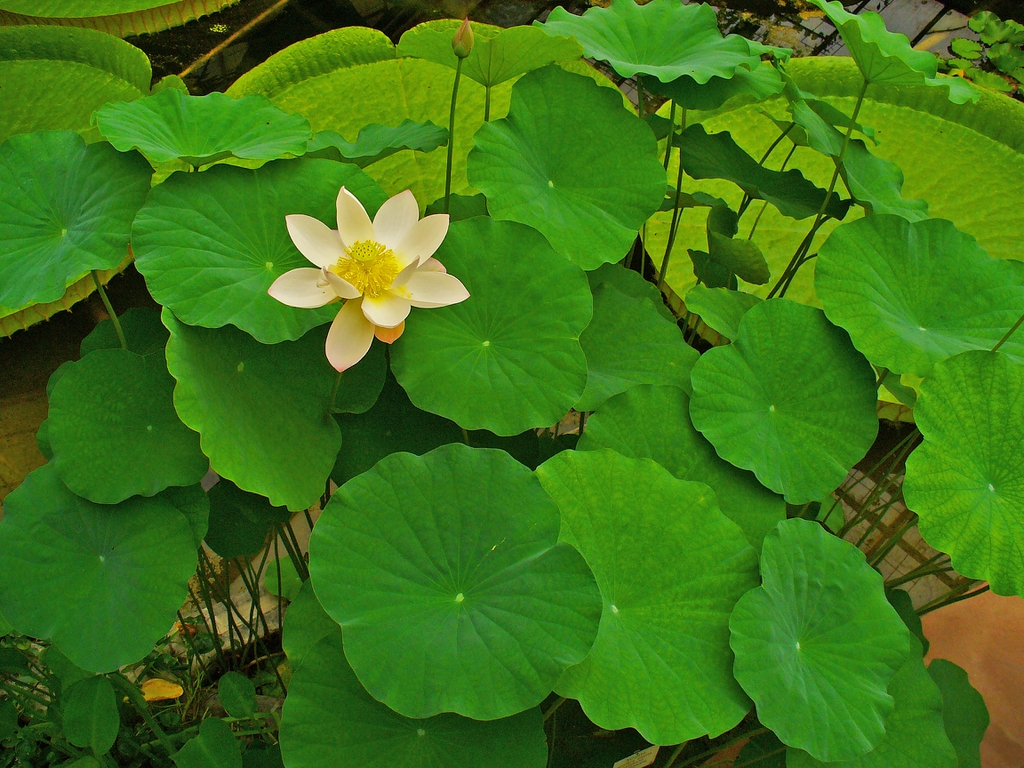 Nelumbo_nucifera flower, bud, and leaves