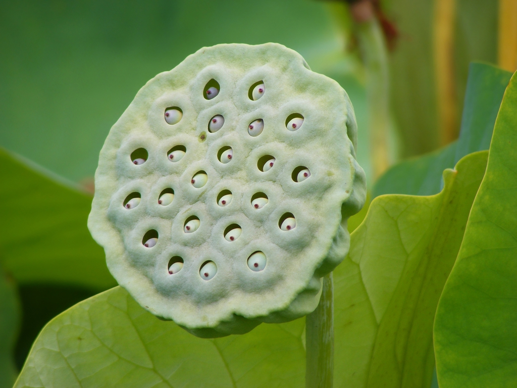 Nelumbo nucifera fruit