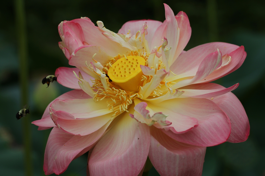 Nelumbo nucifera with bees