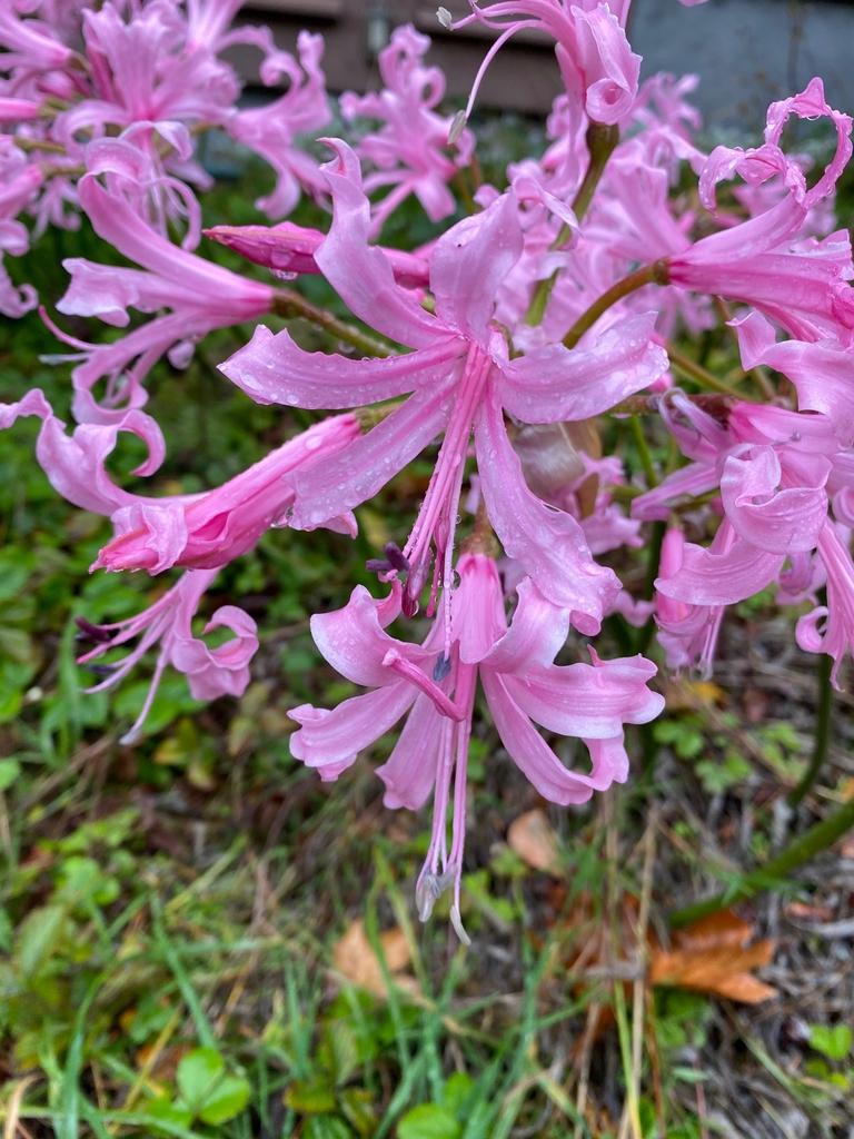 Nerine bowdenii flowers