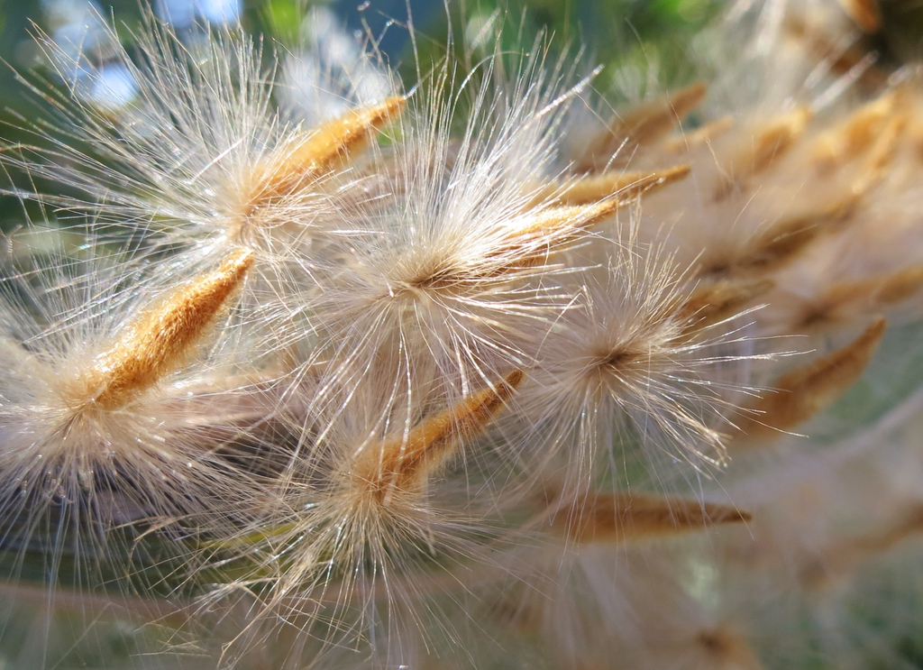 Close up of tuffed seeds.