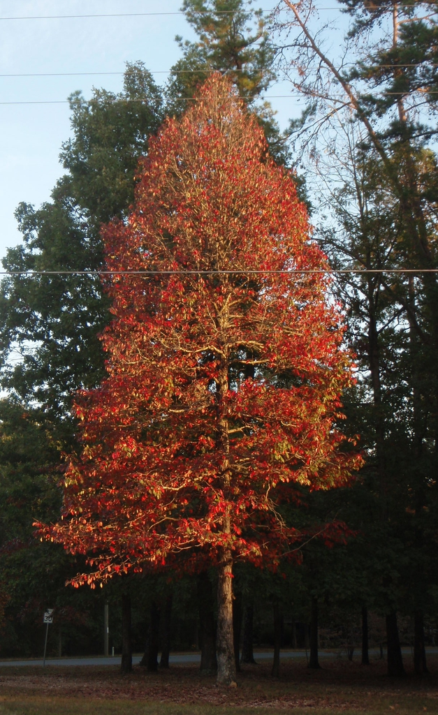 'Sparkler' Fall Color