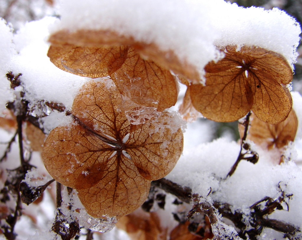Oakleaf Hydrangea with snow and ice