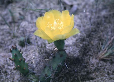 Opuntia spp.