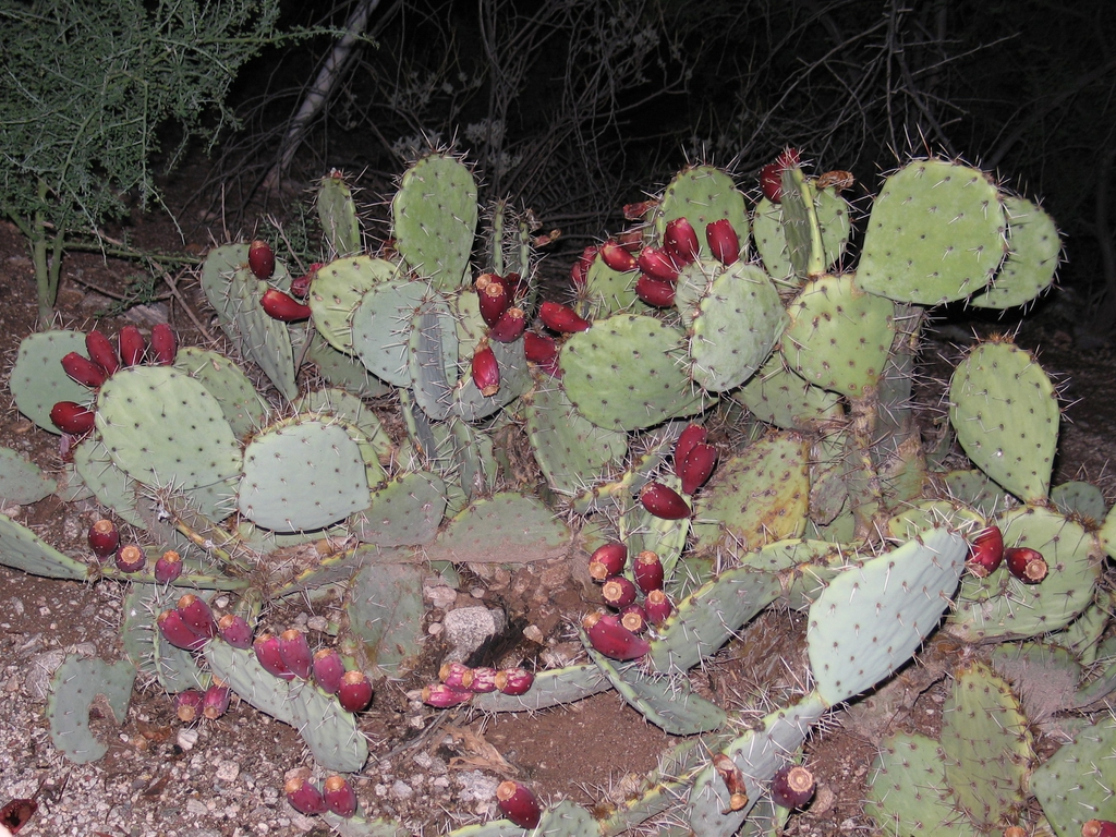 opuntia plant with fruit