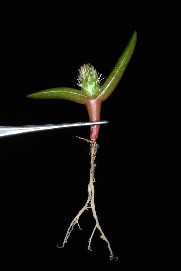 Seedling (Madison, VA)-Early Summer