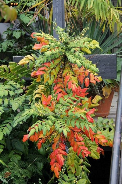 Mahonia x media fall color