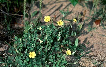 Oxalis yellow-flowered