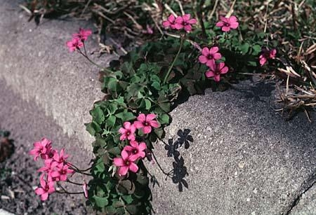 Oxalis pink-flowered