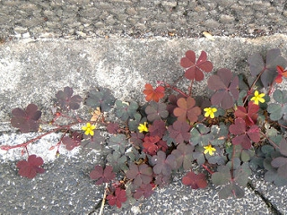 Oxalis corniculata Creeping-Woodsorrel