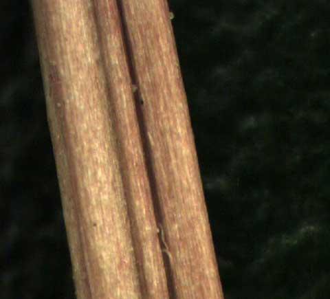 Oxalis stricta stem