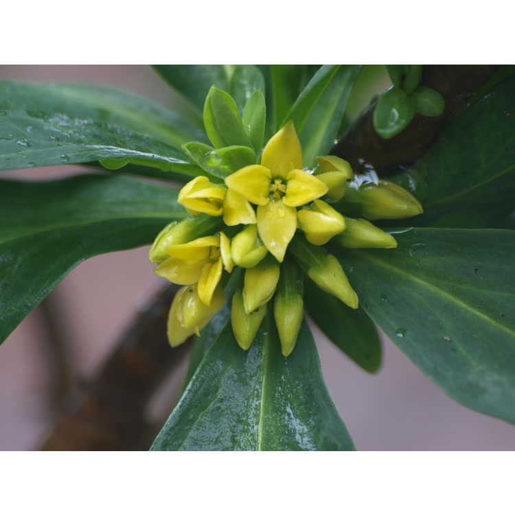 Daphne pseudomezereum