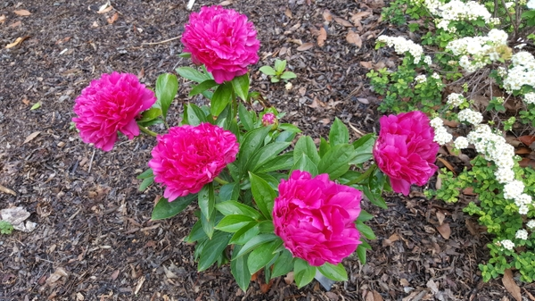 Paeonia 'Paul M. Wilder'