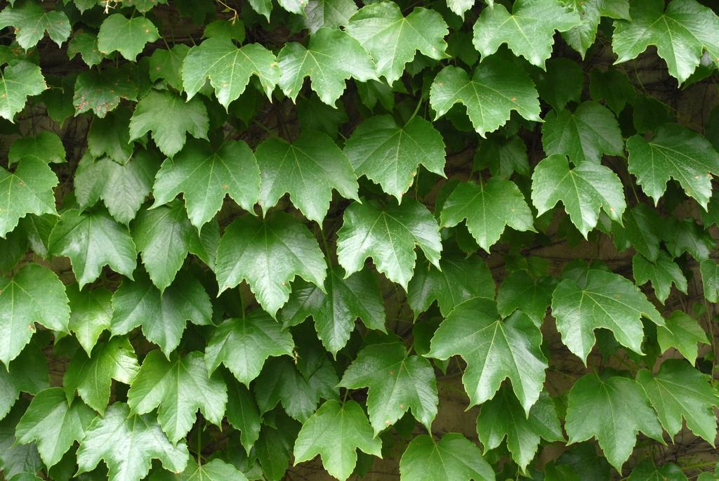 'Tricuspidata' Leaf