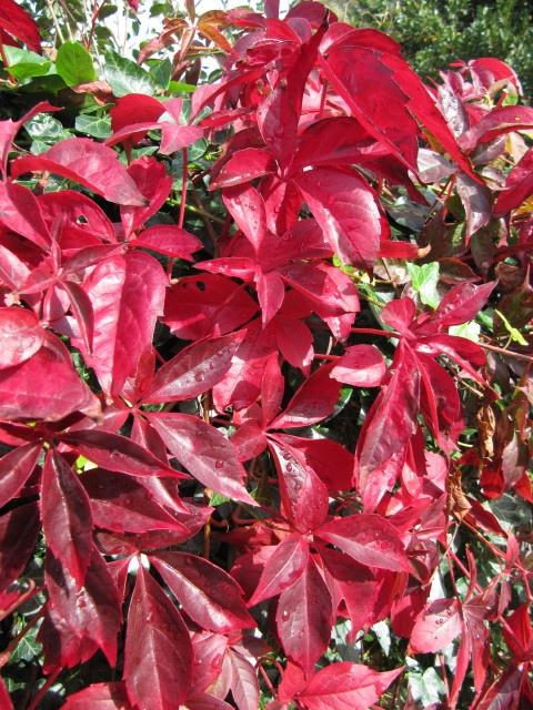 Parthenocissus quinquefolia fall foliage