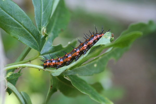 Gulf Fritillary Caterpillar on leaf