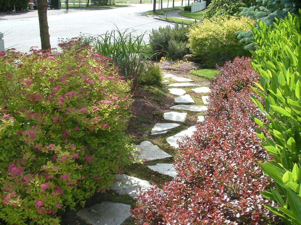 Paver Pathway Garden with Prunus laurocerasus 'Otto Luyken'