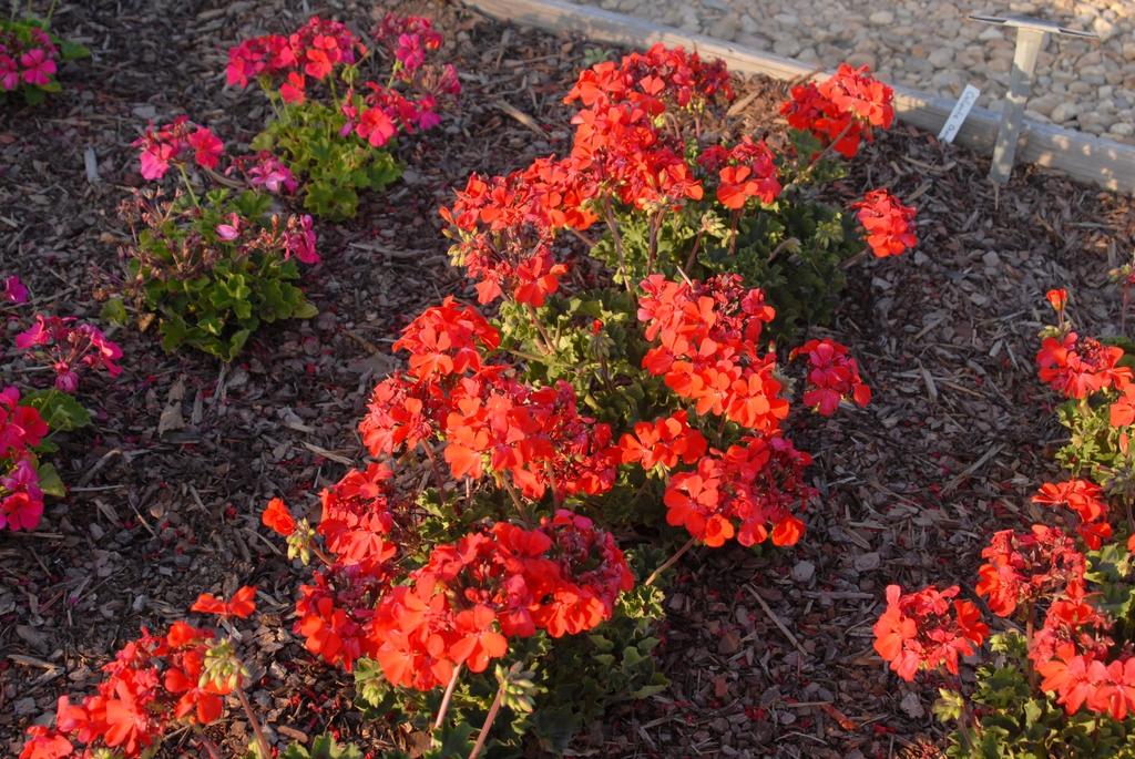 Pelargonium x hybridum