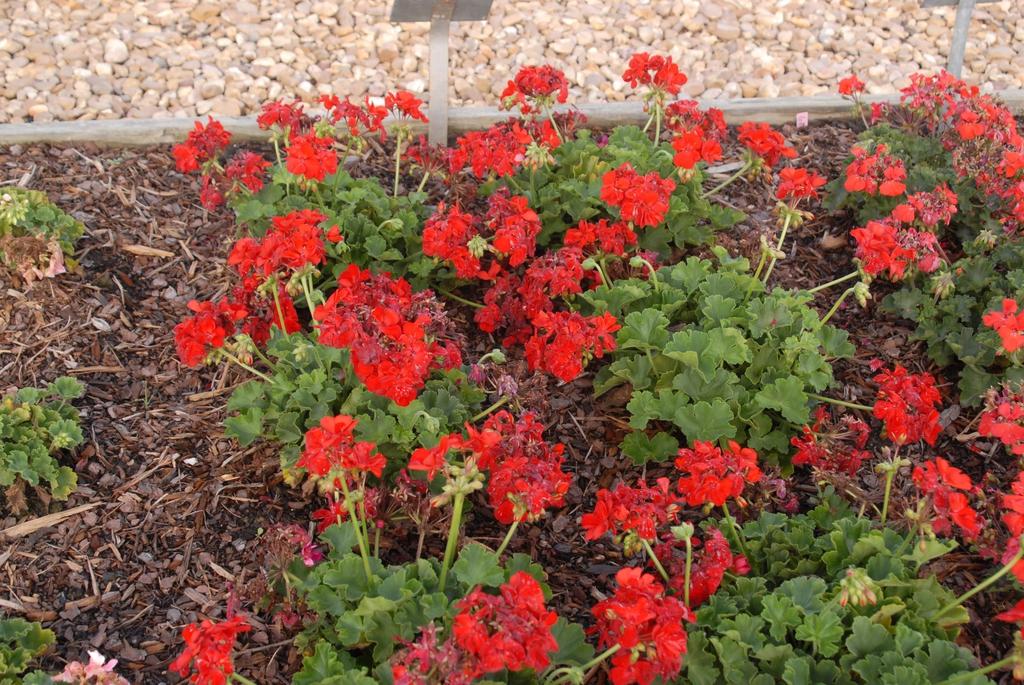 Pelargonium 'Calliope Scarlet Fire' Flower