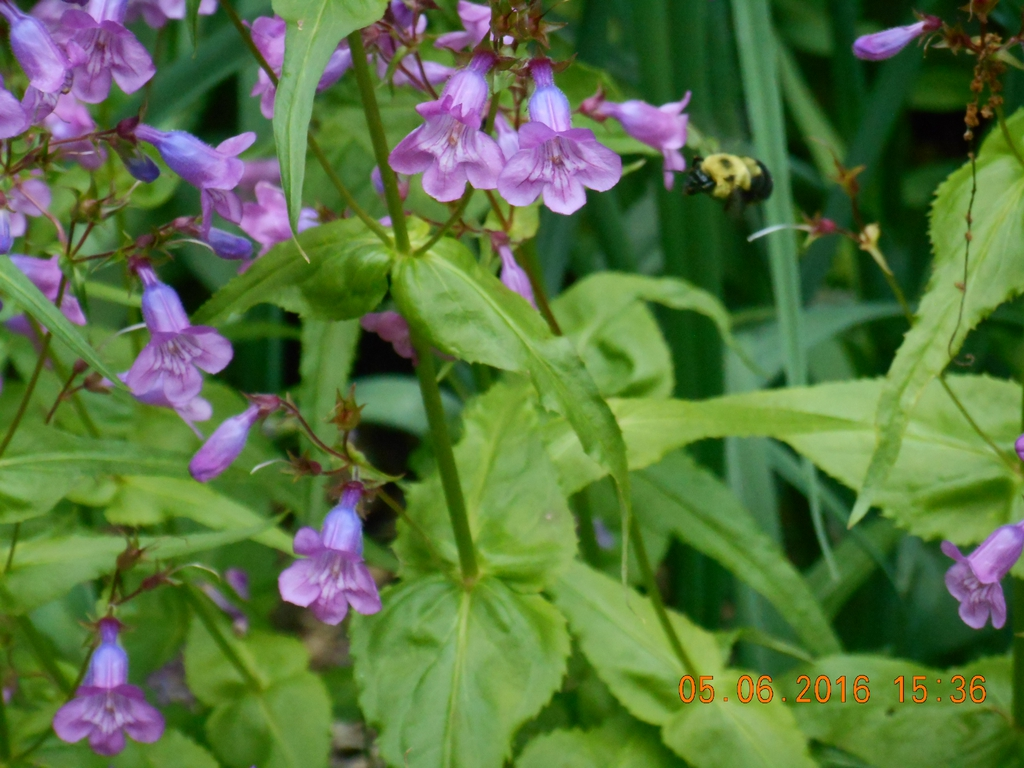 bloom with carpenter bee, spring, Iredell County, NC