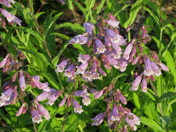 Penstemon canescens
