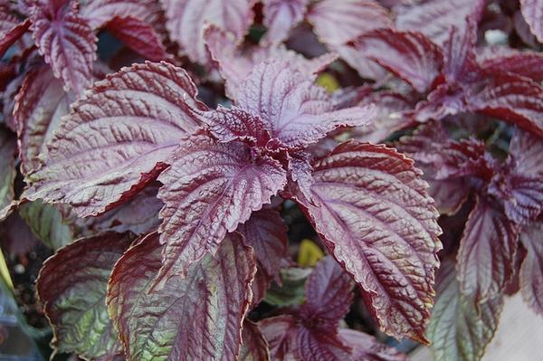 Perilla frutescens 'Purple Shiso'