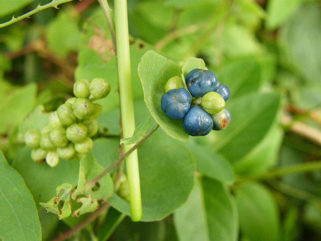 Stem and Fruit