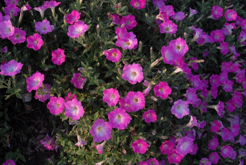 'Opera Supreme Pink Morn' Flower