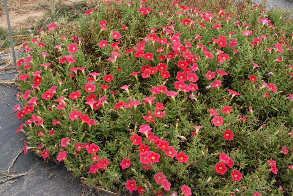 Petunia x Hybrida