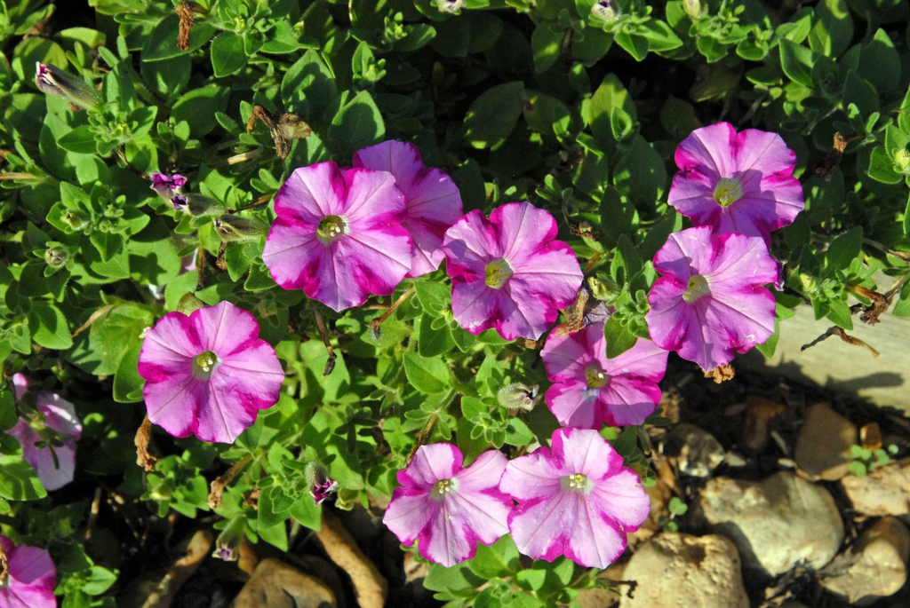 'Supertunia Raspberry Blast' Flower