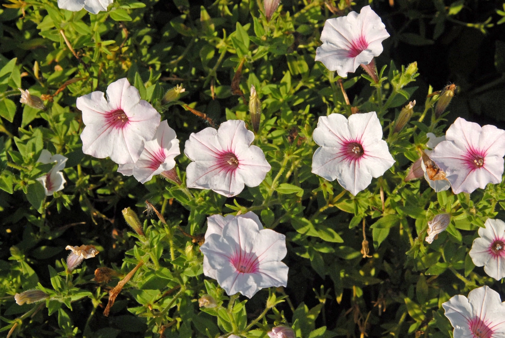 'Supertunia Vista Silverberry' Flower