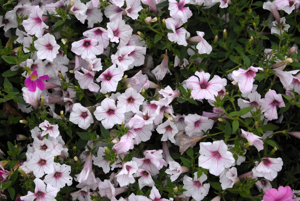 Petunia 'Supertunia Vista Silverberry' Flower