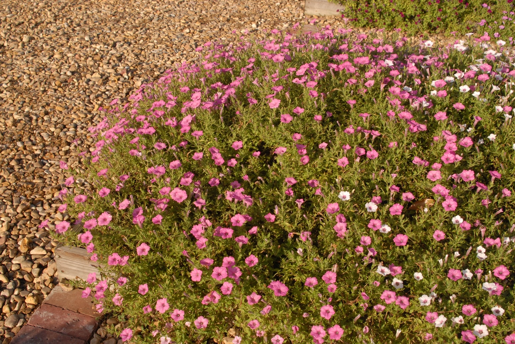 'Supertunia Vista Bubblegum' Form