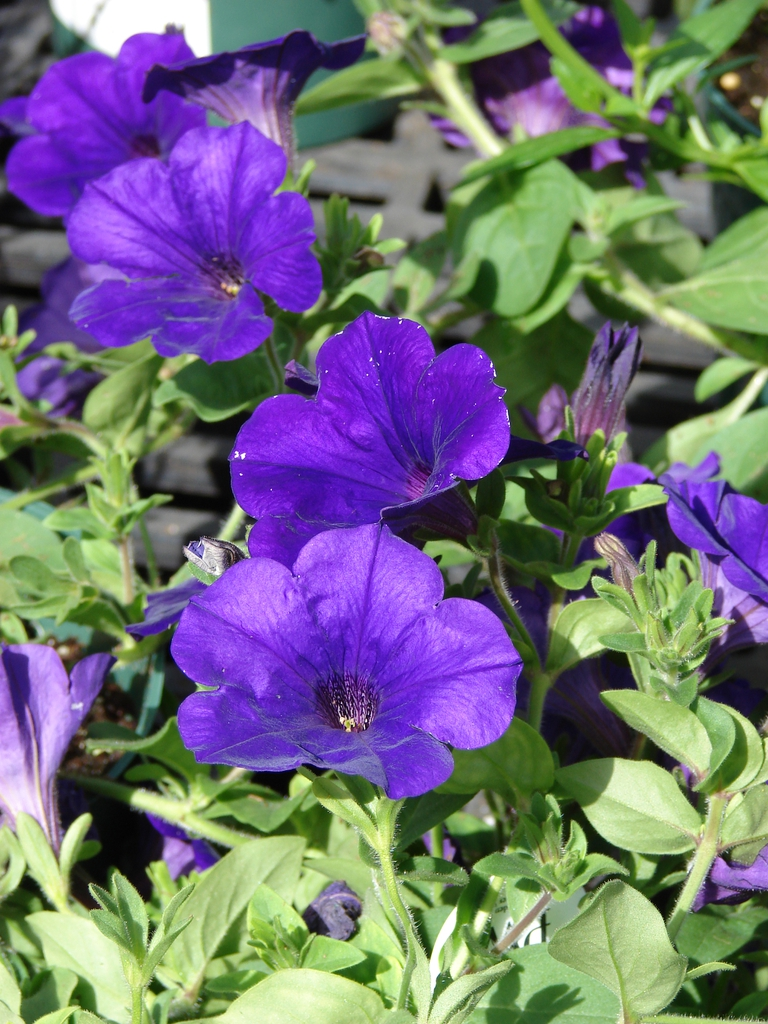 Supertunia royal velvet flowers and leaves