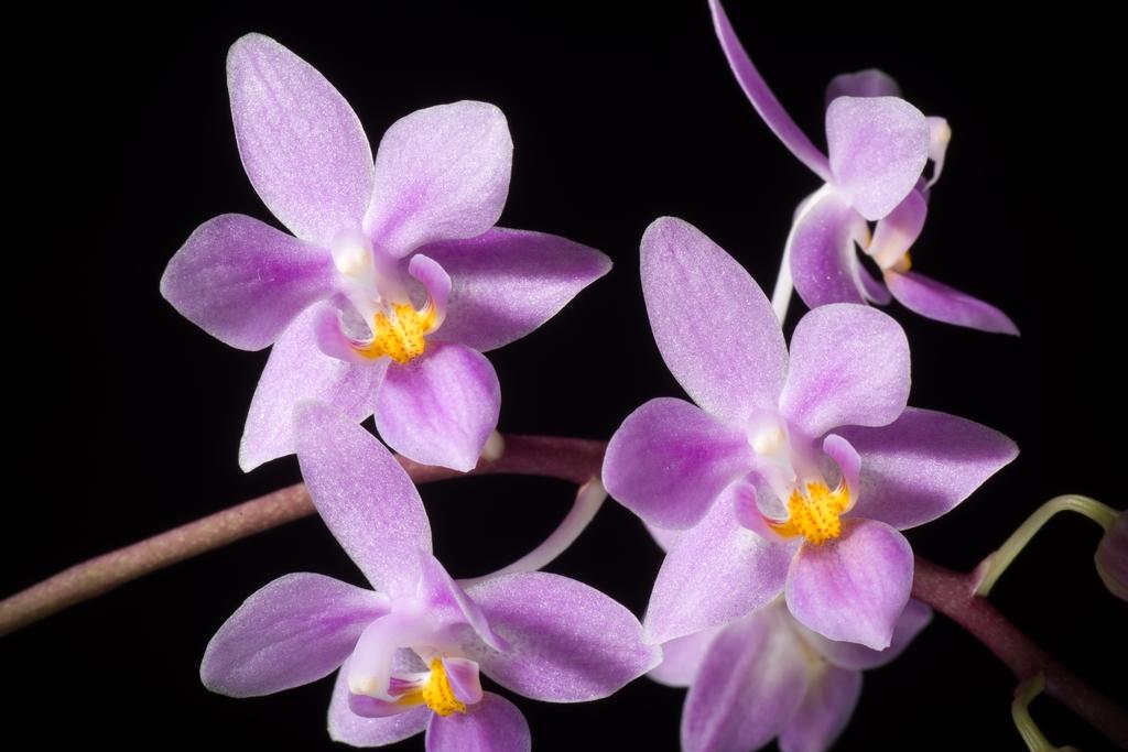 Phalaenopsis equestris var. Rosea