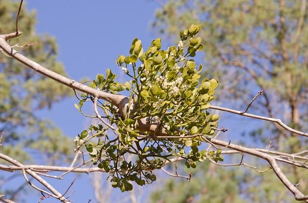 Phoradendron leucarpum (P. serotinum)