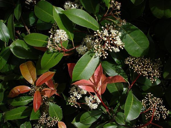 Photinia glabra