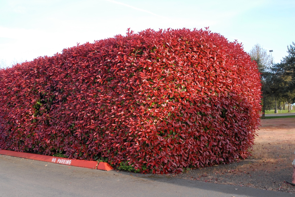 Photinia x fraseri Leaf